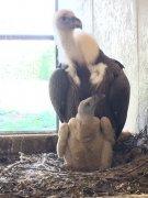 <b>科学家使用3D打印的电子蛋窥探秃鹫巢</b>