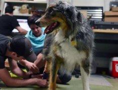 密苏里学生为澳大利亚牧羊犬Tucker3D打印假肢