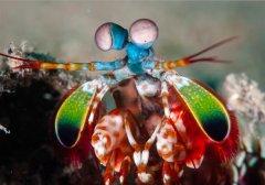受螳螂虾武器的启发,科学家开发更坚固的3D打印结构