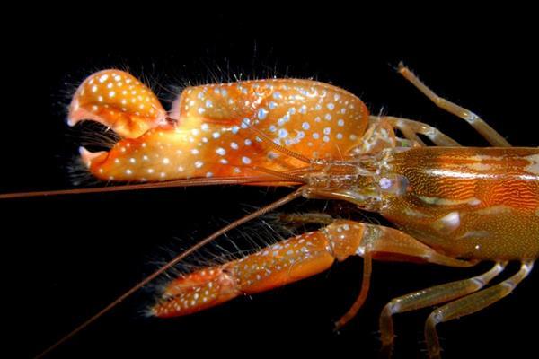 研究人员受虾的启发3D打印机器人爪来产生水下等离子体