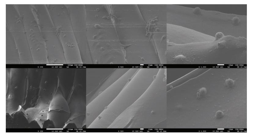 用hFOB细胞接种的3D管状支架表面的SEM显微照片显示一些具有成骨细胞典型的椭圆形至纺锤形形态的细胞